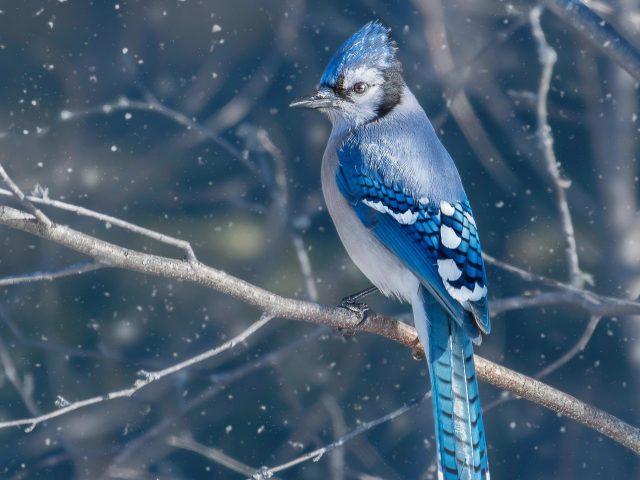 Сине черная Сойка птица сидит на ветке дерева в синем снегу фоновые животные