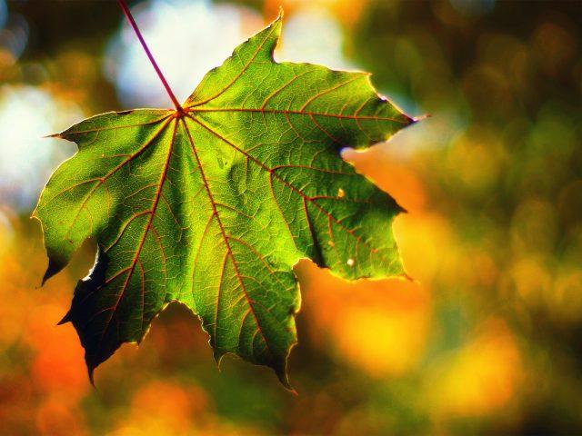 Макро,  лист,  свет,  боке