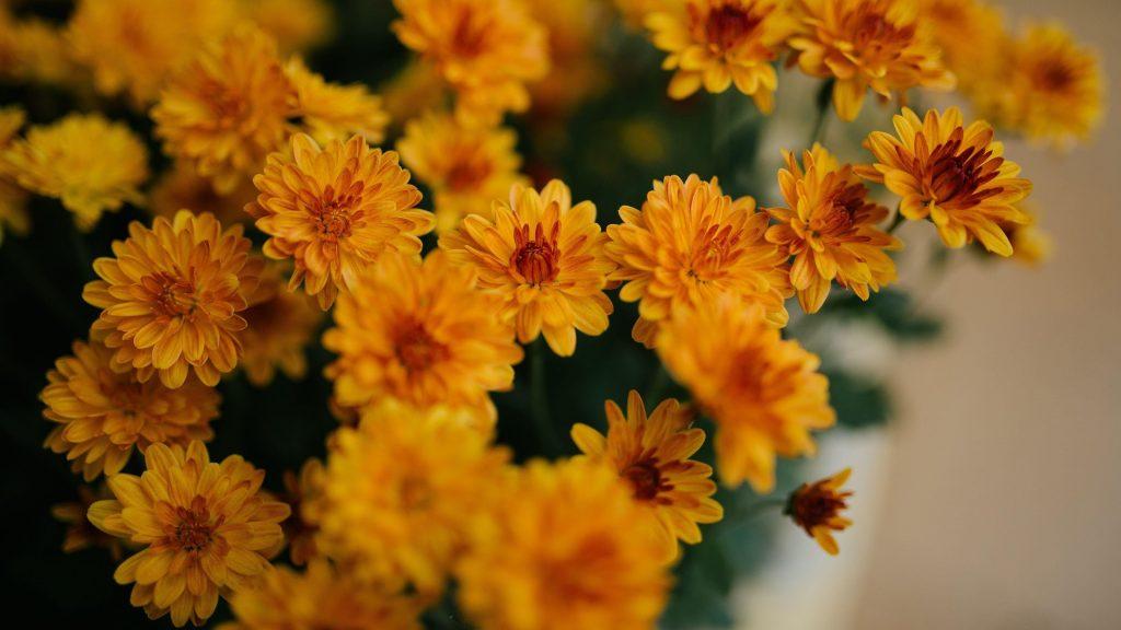 Желтые цветы хризантемы цветы обои скачать