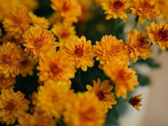 Желтые цветы хризантемы цветы