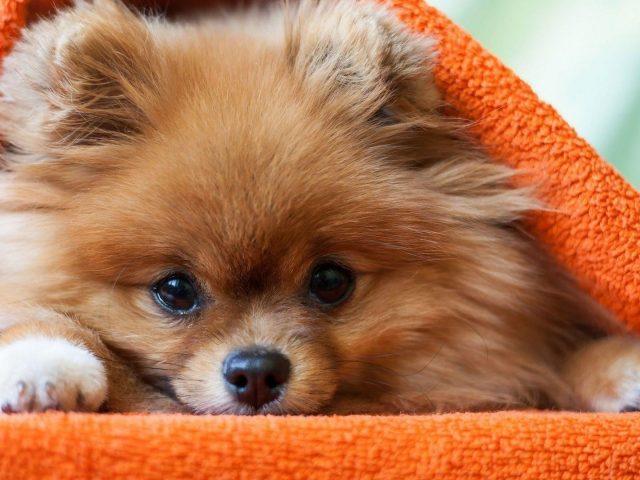 Щенок коричневой померанской собаки под оранжевой тканевой собакой