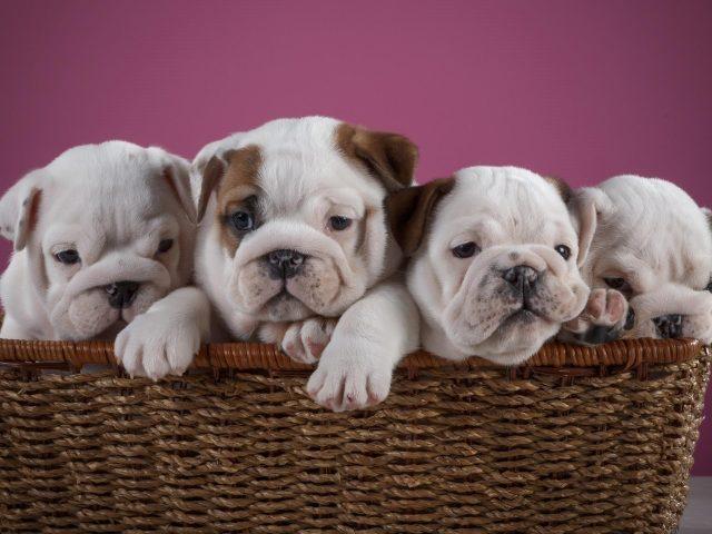 Симпатичные четыре щенка английского бульдога внутри бамбуковой корзины в луковом фиолетовом фоне животных