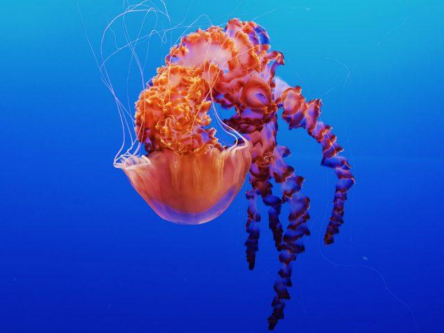 Медуза в аквариум Монтерей бей