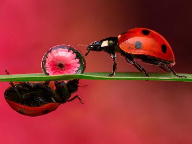 Красное насекомое божья коровка на зеленом листе на красно розовом фоне животные