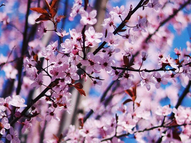 Вишневый цвет весенние цветы