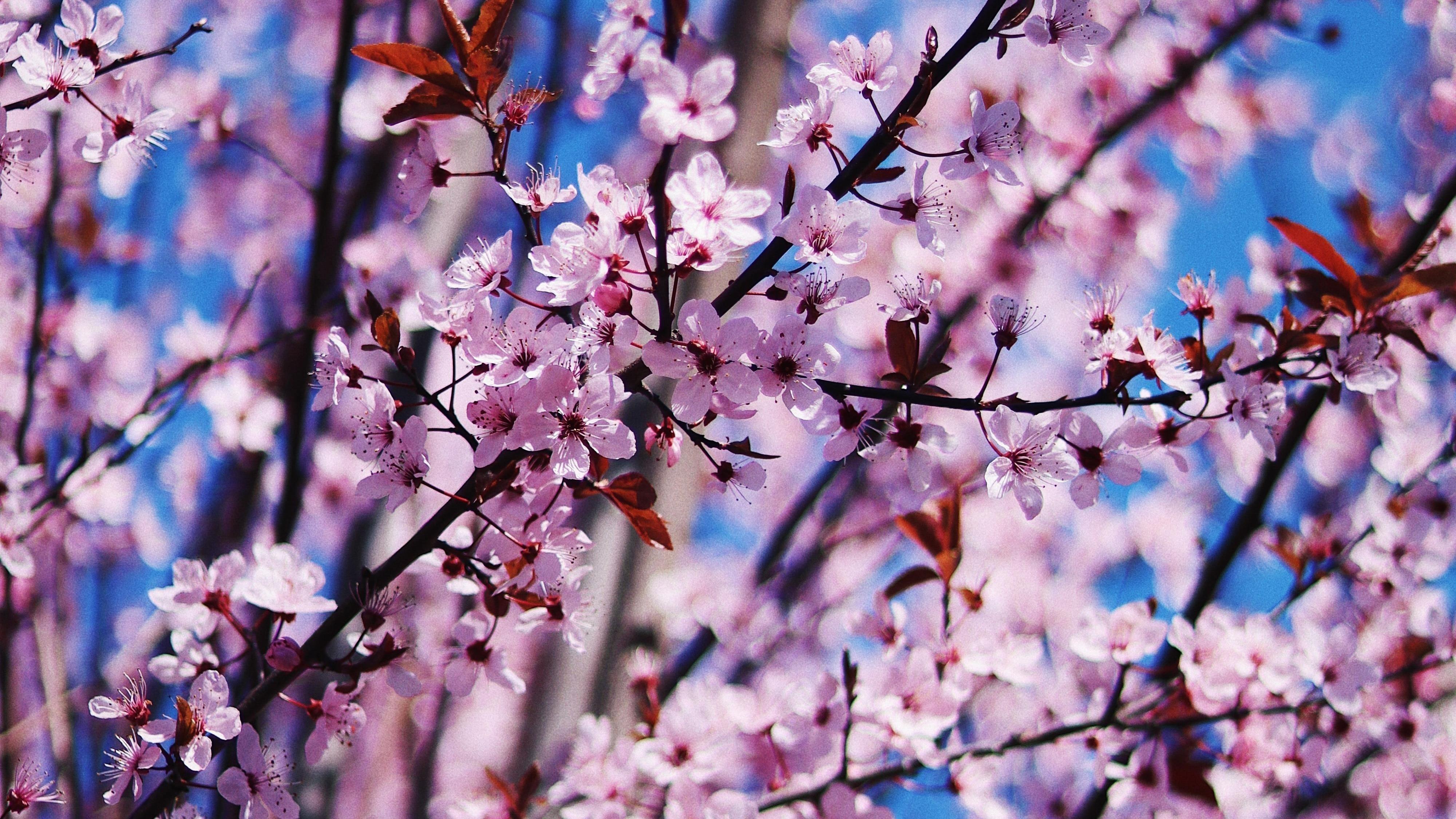 Вишневый цвет весенние цветы обои скачать