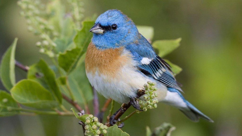 Сине коричневая белая птица стоит на ветке растения птицы обои скачать