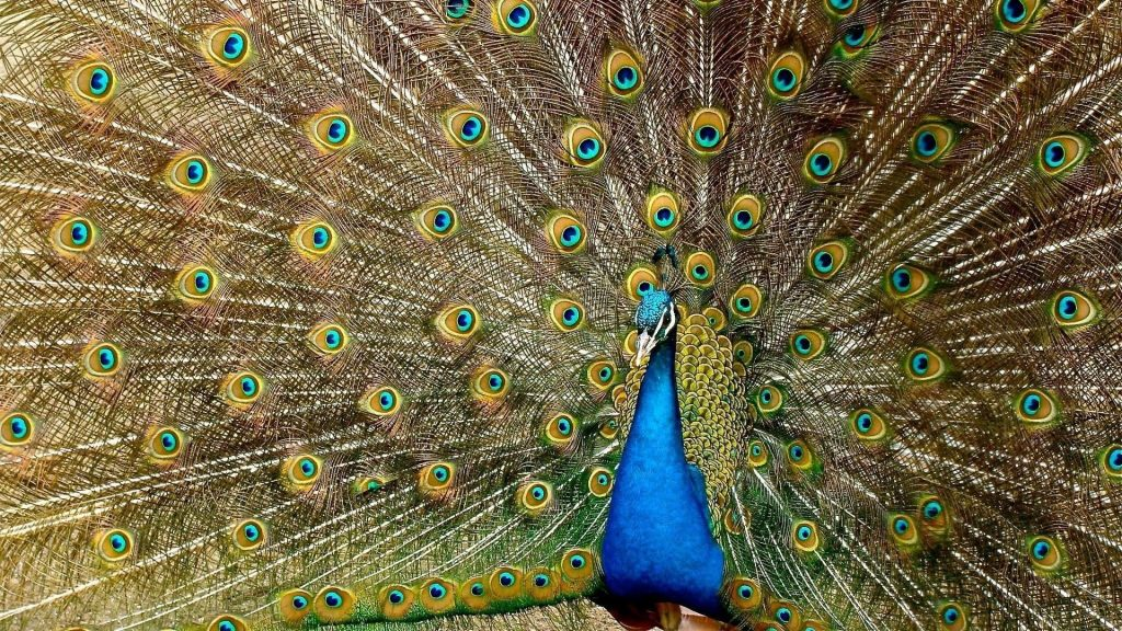 Красивый павлин с распростертыми крыльями птицы обои скачать