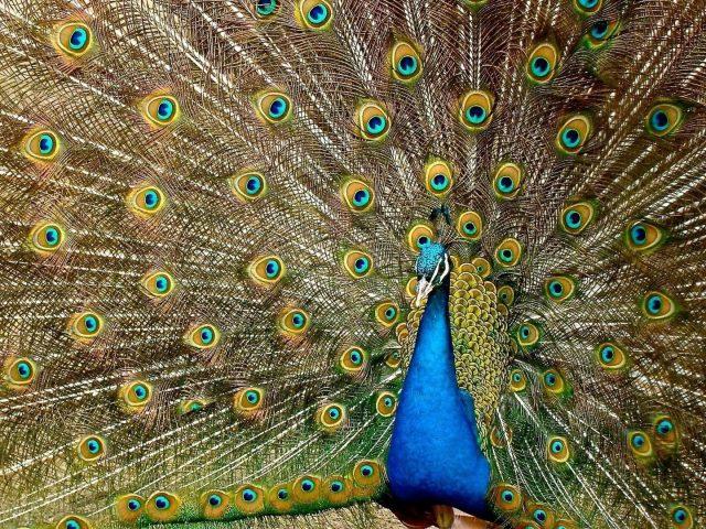 Красивый павлин с распростертыми крыльями птицы
