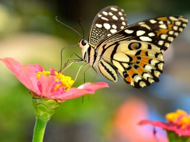 Желтые черные точки с рисунком бабочки на цветочной нити в размытом фоне бабочка