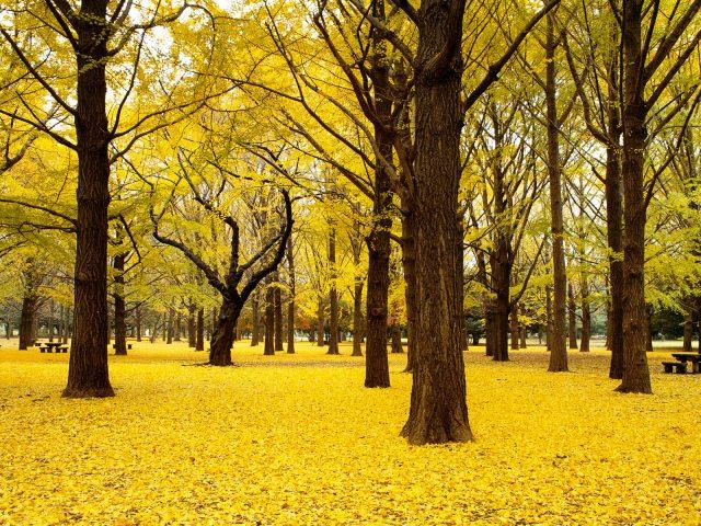 Осенью деревья гинкго осень Япония.