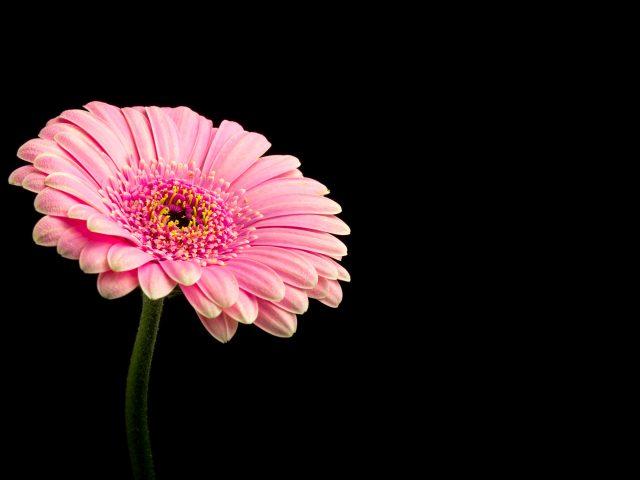 Розовый Дейзи цветок