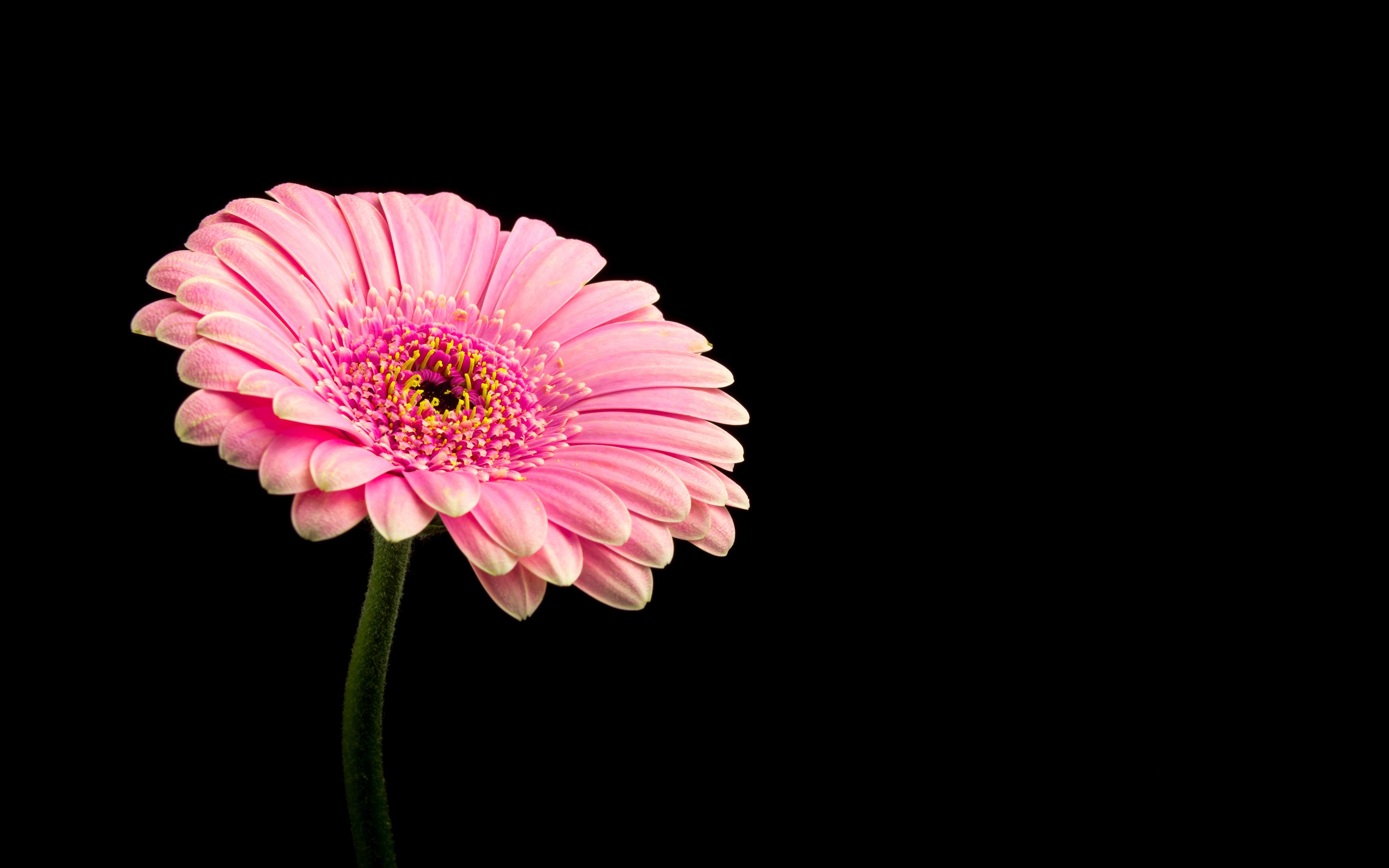 Розовый Дейзи цветок обои скачать