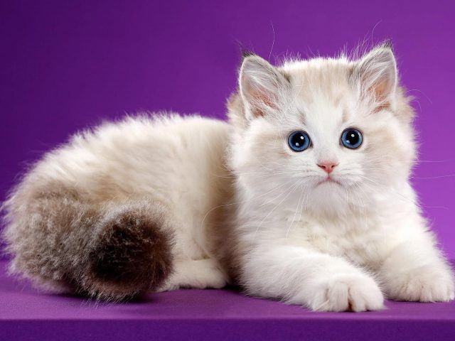 Симпатичная белая кошка лежит на столе в фиолетовом цвете на фоне животных