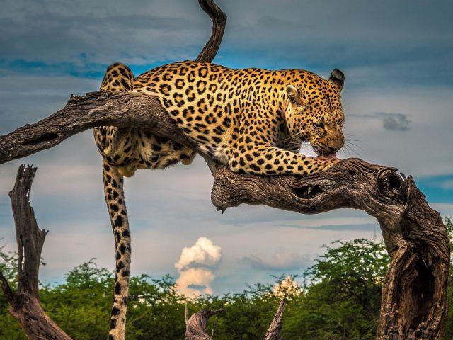 Леопард лижет лапу