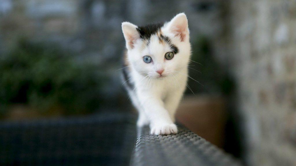 Белый черный кот котенок стоит на диване в синем фоне стены котенок обои скачать