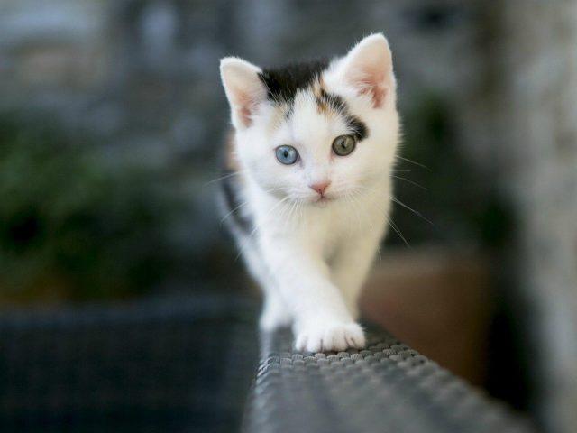 Белый черный кот котенок стоит на диване в синем фоне стены котенок