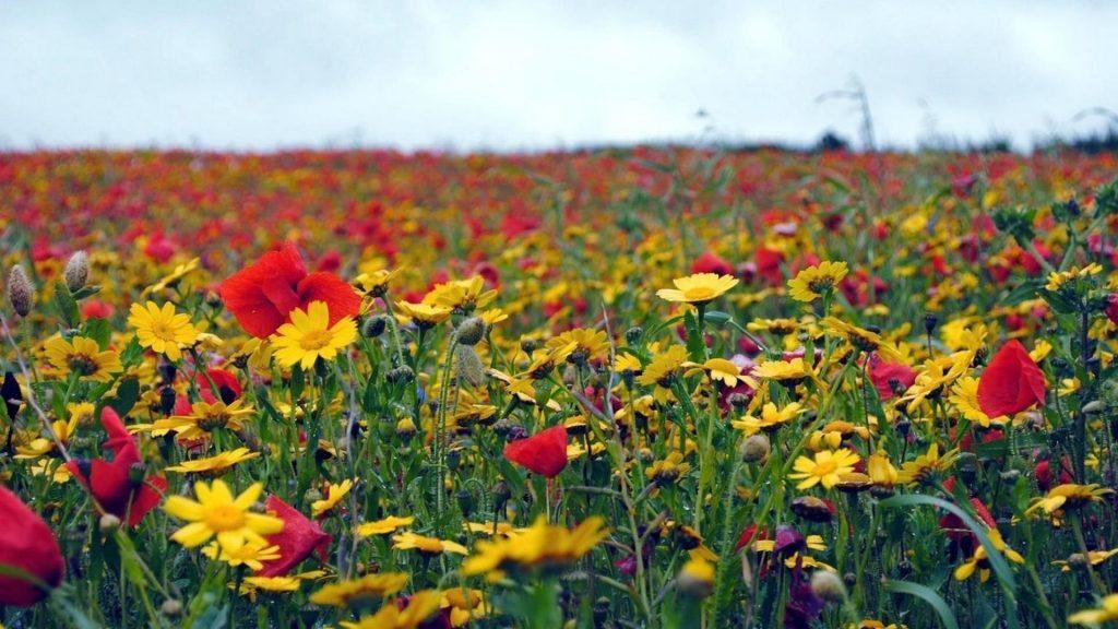 Маки цветы полевые летние цветы обои скачать