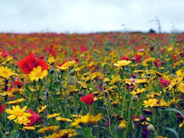 Маки цветы полевые летние цветы