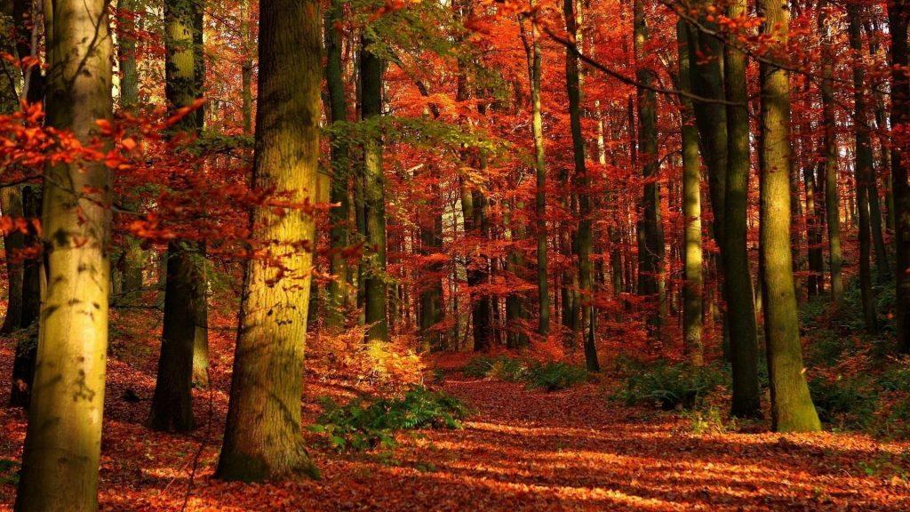 Осенний лес листья деревья красные отблески природа обои скачать