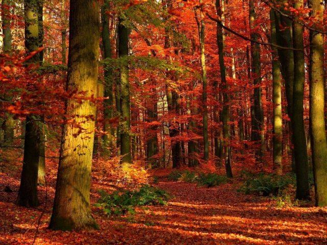 Осенний лес листья деревья красные отблески природа