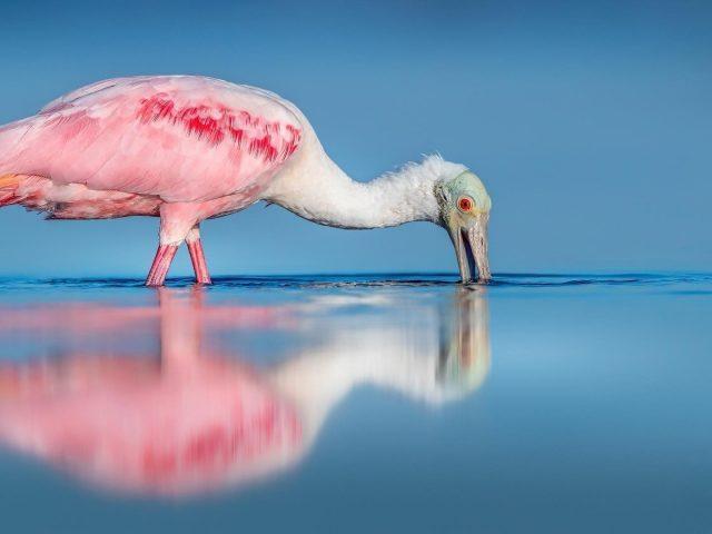 Белая розовая ложконосая птица в водоеме с тенью в дневное время животные