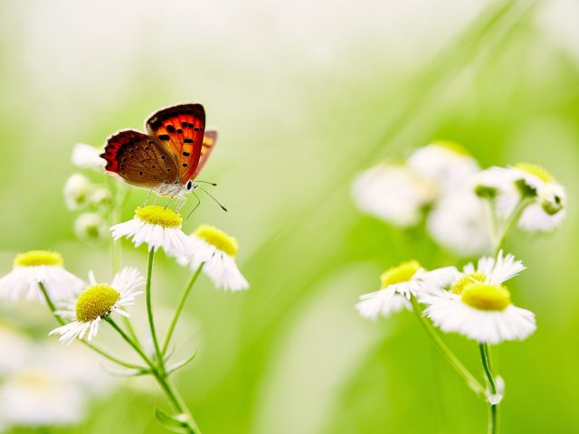 Butterfly over white daisies.