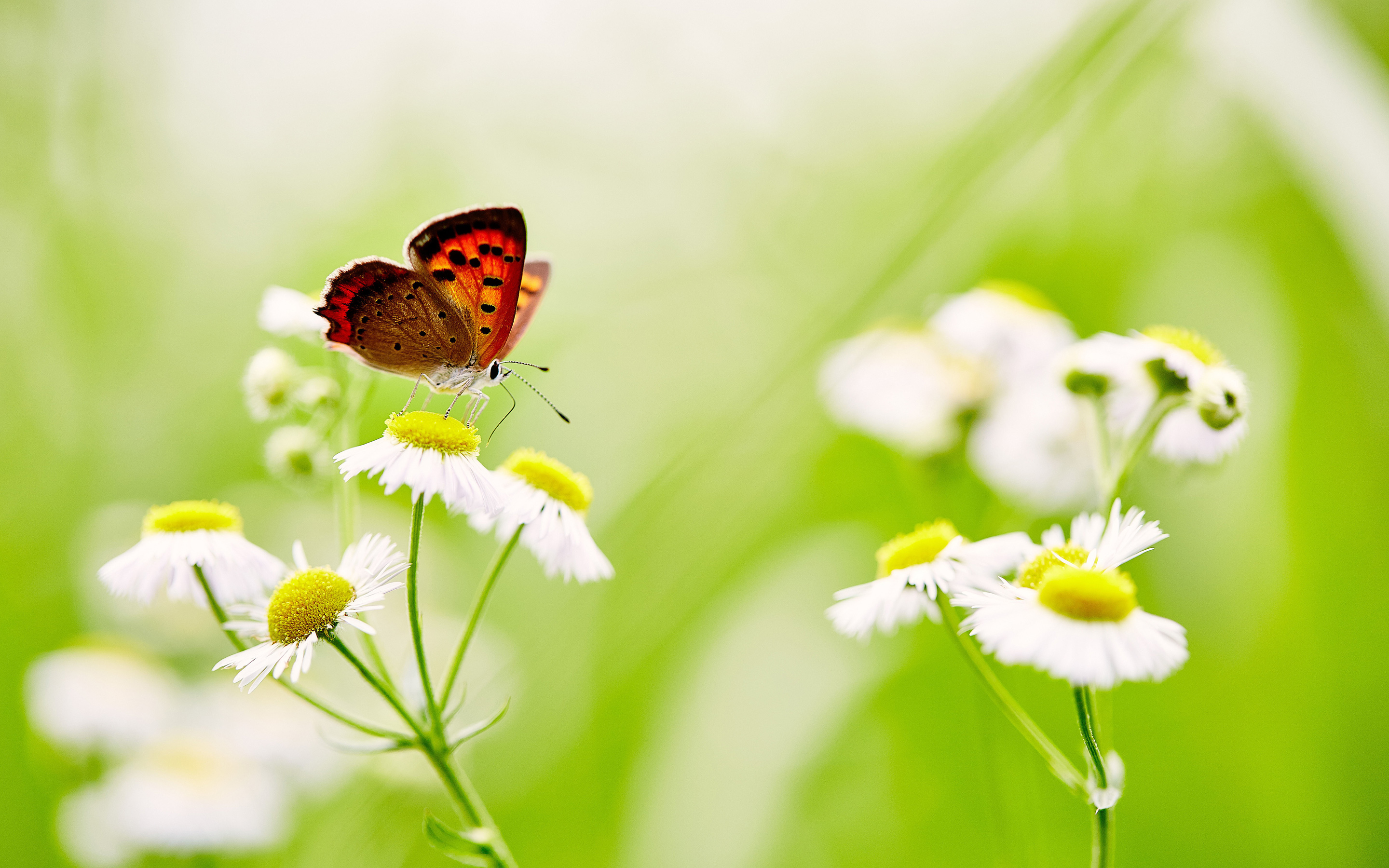Butterfly over white daisies. обои скачать