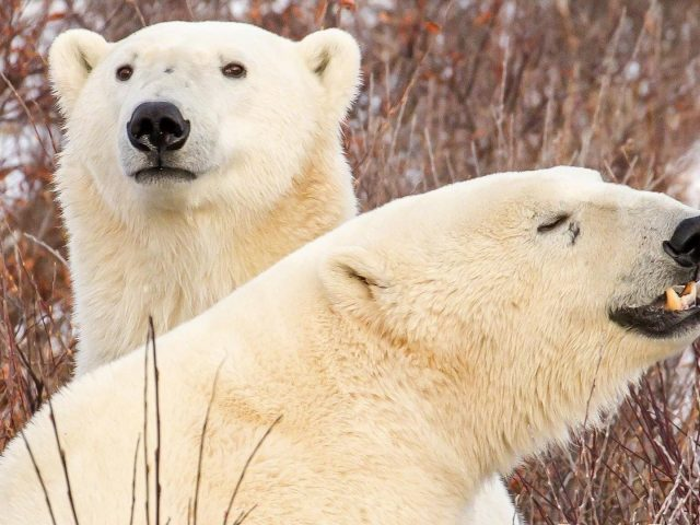 Два белых белых медведя стоят на снежном поле в сухом растительном фоне животные