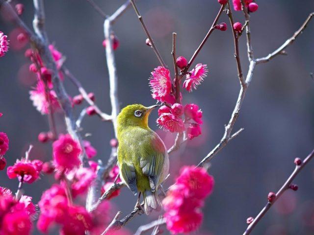 Маленькая японская белоглазая зеленая птичка сидит на розовом цветке ветки дерева животных