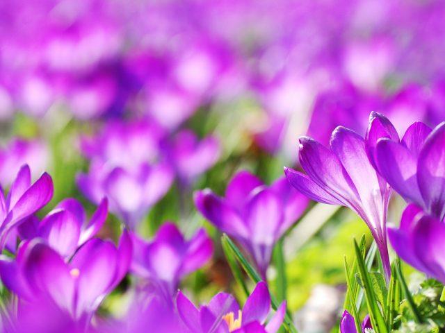 Фиолетовый Крокус цветы.