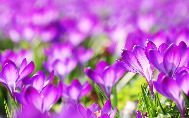 Фиолетовый Крокус цветы. обои скачать