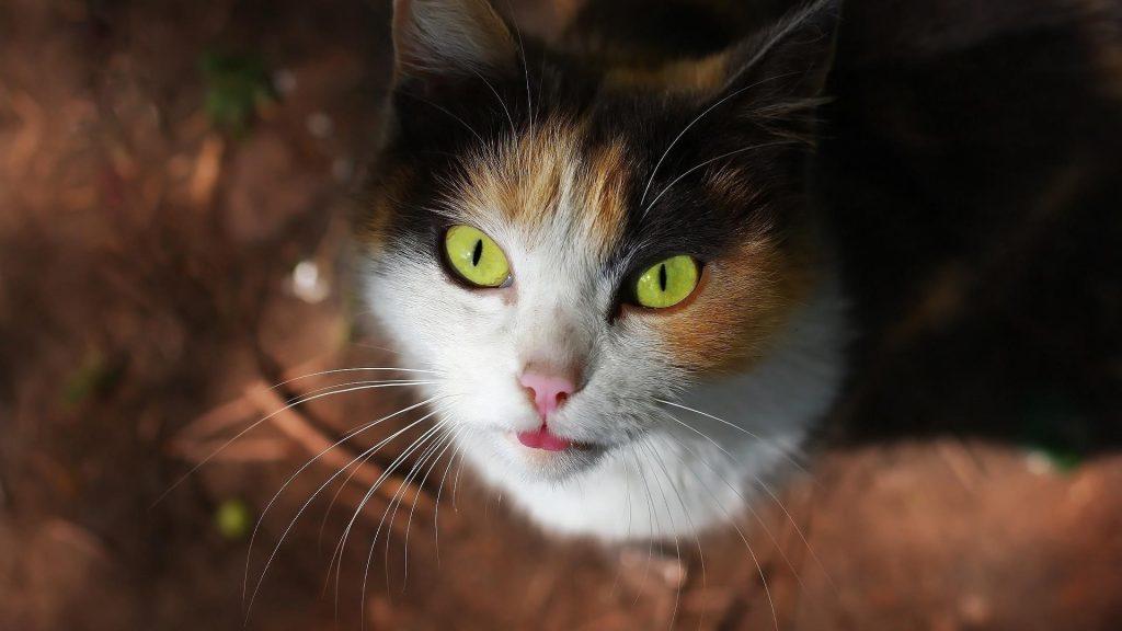 Желтые глаза черно коричневая кошка котенок смотрит вверх кошка обои скачать
