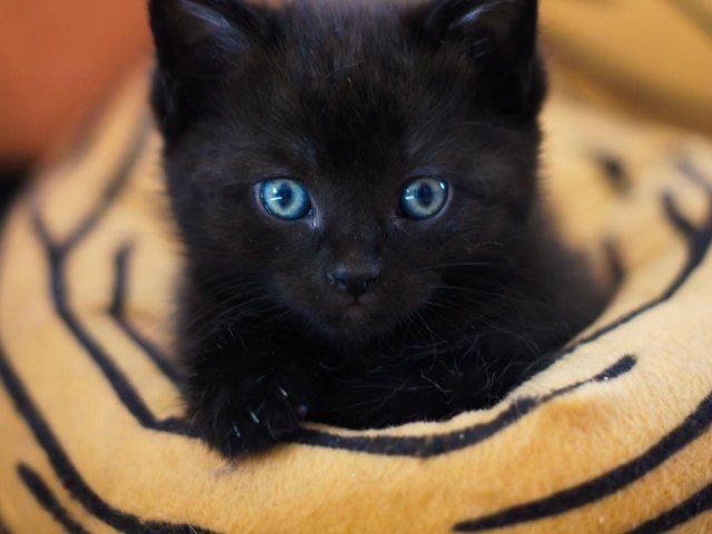 Голубые глаза черная кошка котенок на ткани котенок