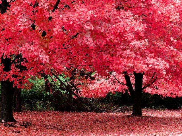 Красные цветущие осенние деревья в лесной природе