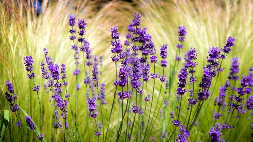 Лавандовое поле размыто точат цветы обои скачать