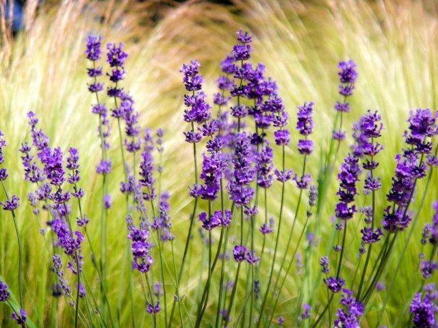 Лавандовое поле размыто точат цветы
