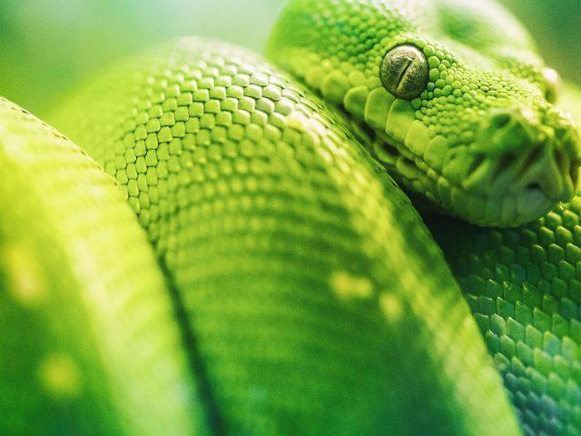 Крупным планом Фото зеленых гадюк питонов животных