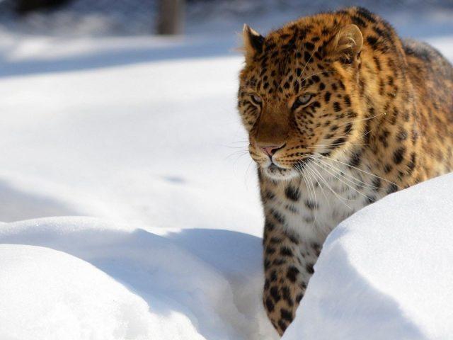 Большая кошка леопард снег дикая природа зимний хищник леопард