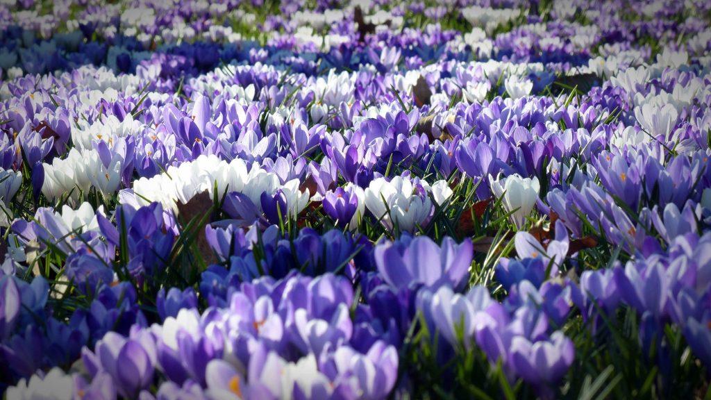 Фиалка белый крокус садовые цветы полевые цветы обои скачать