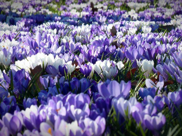 Фиалка белый крокус садовые цветы полевые цветы
