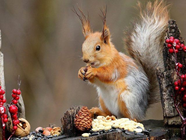 Коричневая белка стоит на стволе дерева и ест орехи животных
