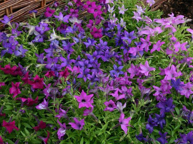 Розовые голубые фиолетовые цветы зеленые листья цветы