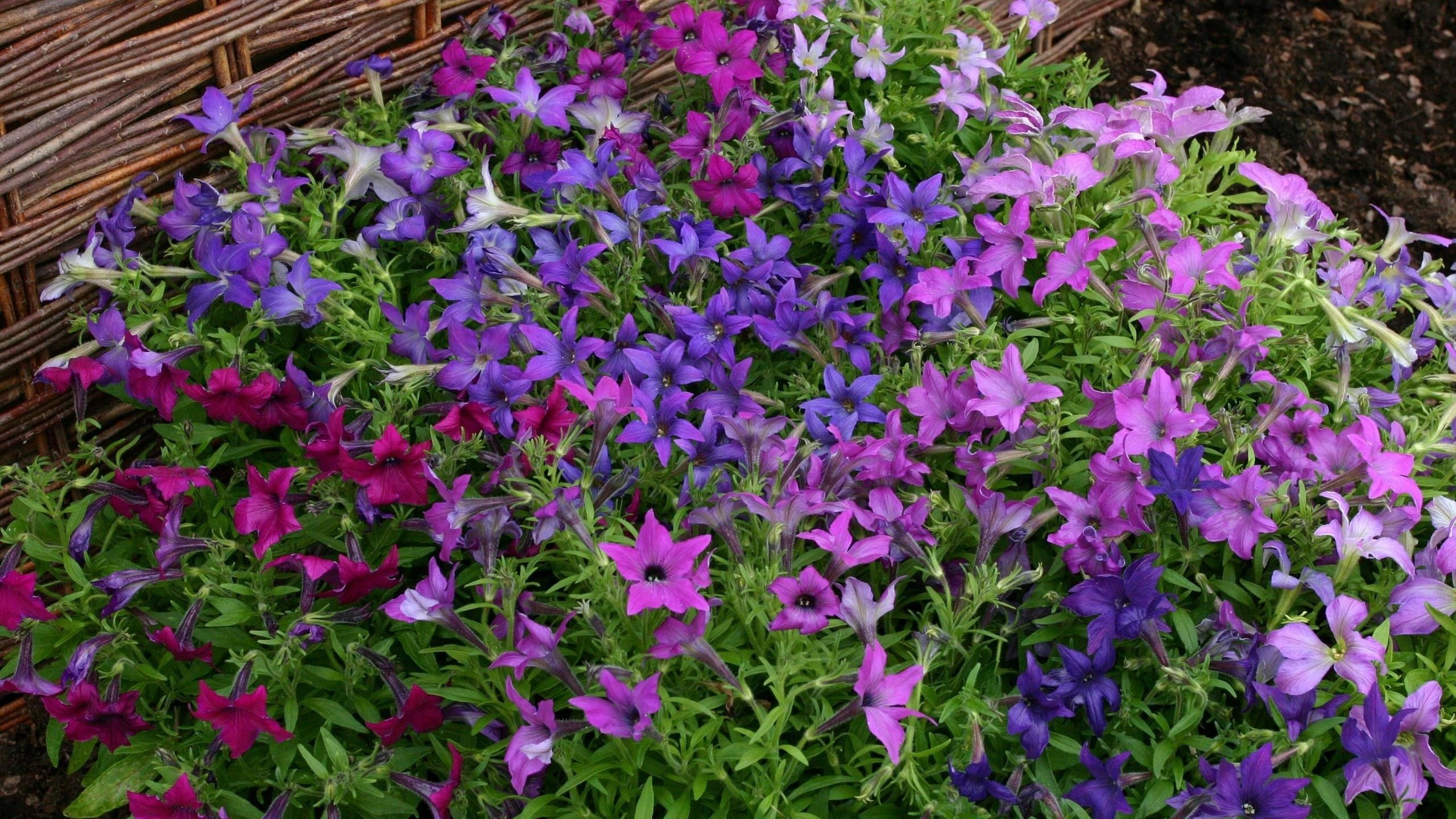 Розовые голубые фиолетовые цветы зеленые листья цветы обои скачать