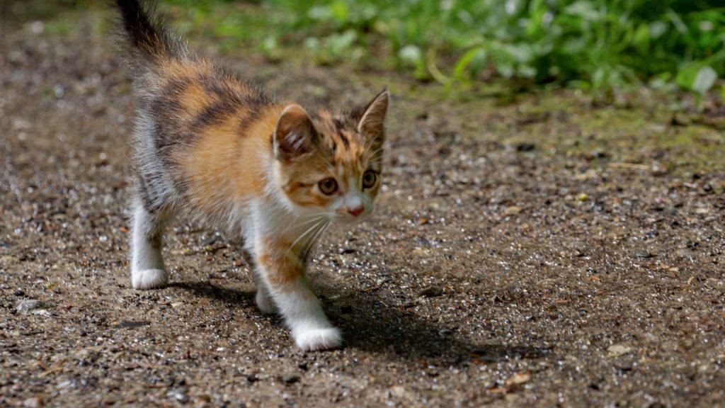 Коричневый черный белый кот котенок идет по песку котенок обои скачать