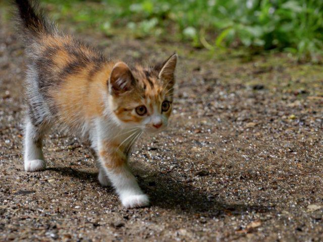 Коричневый черный белый кот котенок идет по песку котенок
