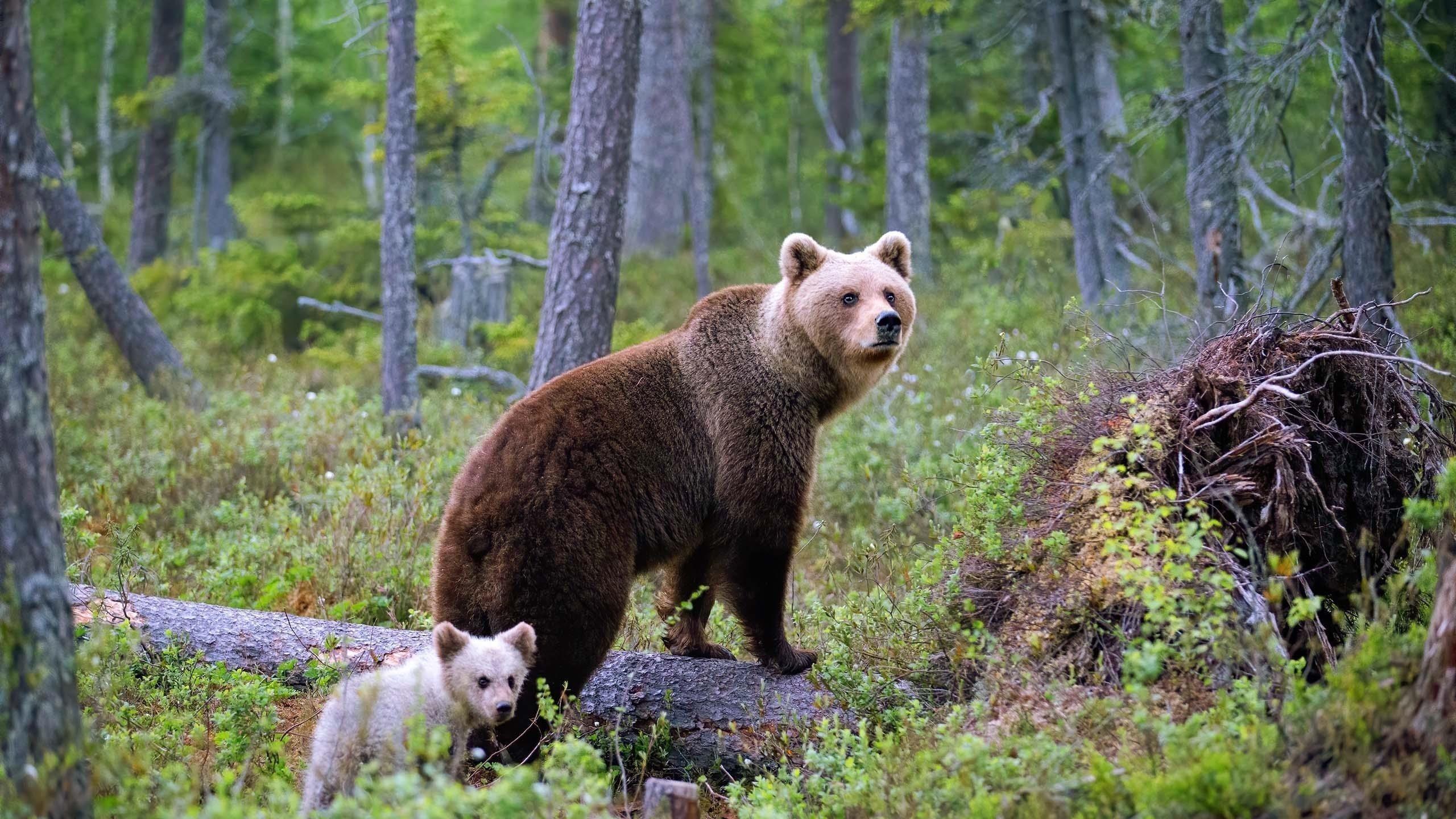Животное медведь с детенышем животных обои скачать