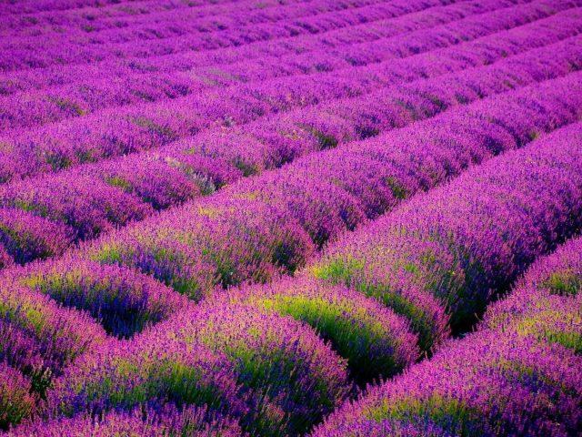 Лавандовые цветы полевые в дневное время природа