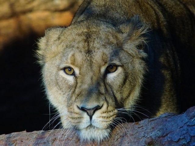 Животное лев животные