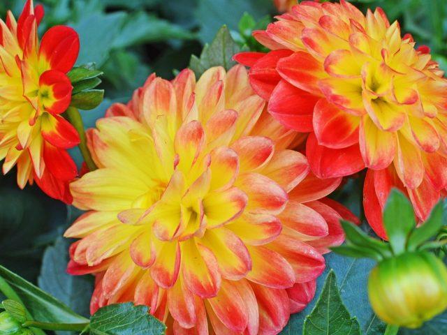Красные желтые цветы бутоны зеленые листья растения цветы